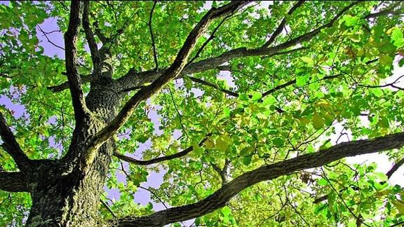 Baumkrone mit jungem Grün