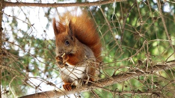 Ein Eichhörnchen putzt sich auf einem Baum