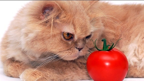 Katze schaut sich ungläubig eine Tomate an