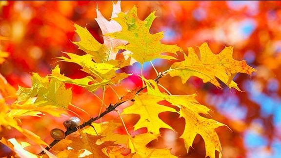 Eichenblätter im Herbst