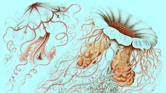 Zeichnung von Haeckel