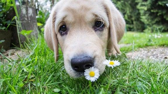 Labrador Retriever Welpe riecht an einem Gaenseblümchen.