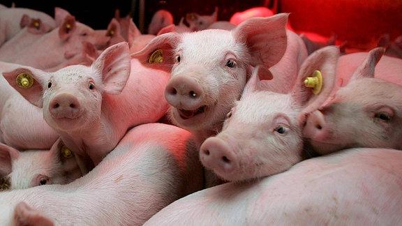 Gruppenbild von jungen Schweinen