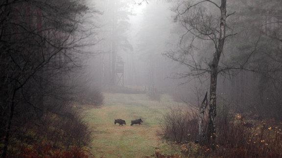 Wildschweine rennen über eine Lichtung im Wald.