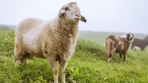 Schafe auf einer Berwiese im Nebel