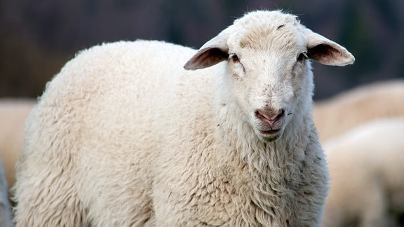 Schaf schaut in die Kamera.