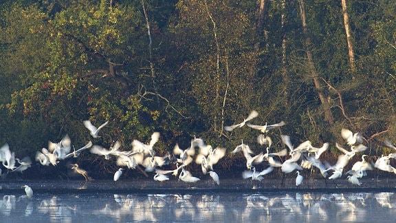 Silberreiher an einem See