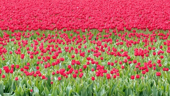 Ein Feld voll rot blühender Tulpen.