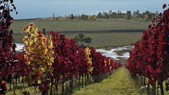 Weinberg am Geiseltalsee im Herbst