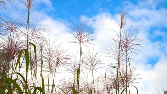 Lila Blüten des Riesen Chinaschilfs