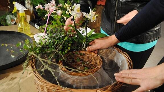 Die Hände einer Frau ordnen verschiedene Pflanzen in einem Pflanzring aus Korbgeflecht an