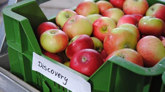 Zahlreiche rot-grüne Sommeräpfel der Sorte 'Discovery' liegen in einer flachen, grünen Kunststoffkiste.