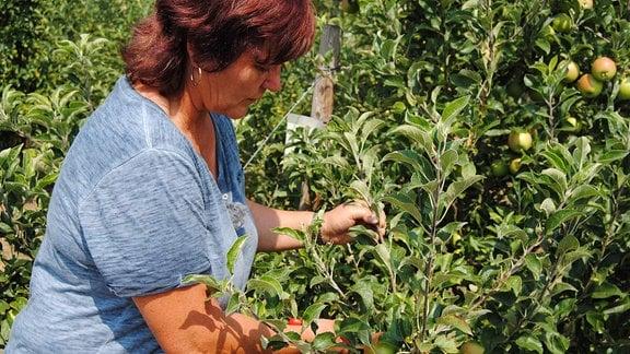 Die Obstbau-Expertin Monika Möhler hält einen senkrecht stehenden Trieb einer Apfelbaums in einer Plantage und setzt weiter unten eine rote Gartenschere an.