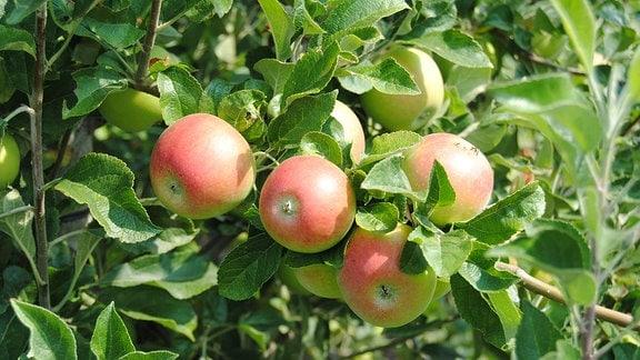 Mehrere Äpfel an einem Ast eines Apfelbaums.