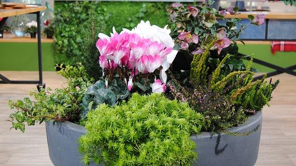 Bepflanzter Topf mit Alpenveilchen, Lenzrose, Mini-Gehölz, Heidekraut und Grünpflanzen