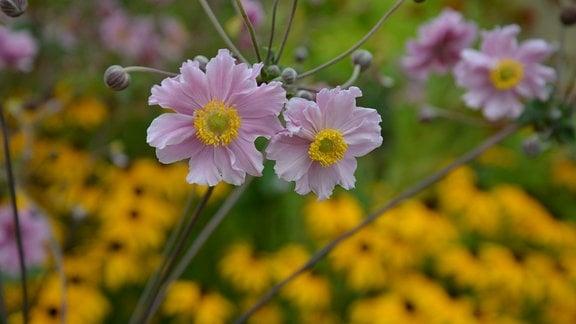 Rosarote Anemonenblüten