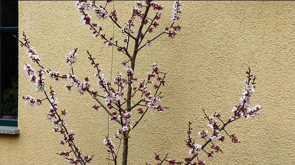 Aprikosenbäumchen in voller Blüte.