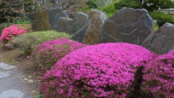 vor Felsen wachsen rosarote Azaleen wie große Polster