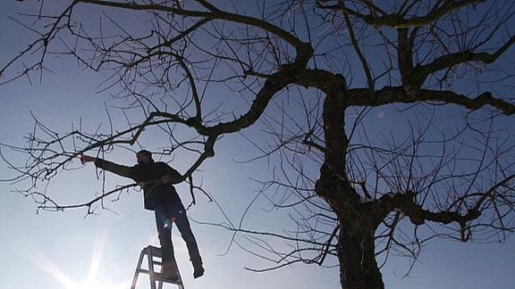 Gegenlichtaufnahme: ein Mann steht auf der Leiter und beschneidet die Krone eines Baums.