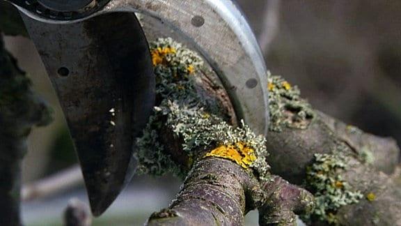 Mit einer Gartenschere wird ein Ast abgeschnitten.