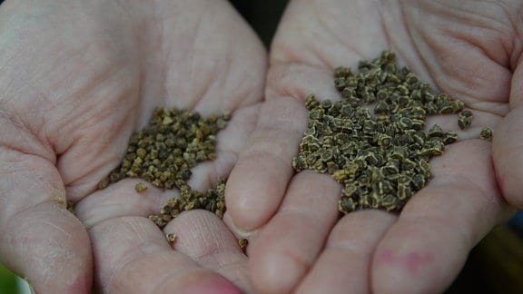 Samen von verschiedenen Beete-Sorten