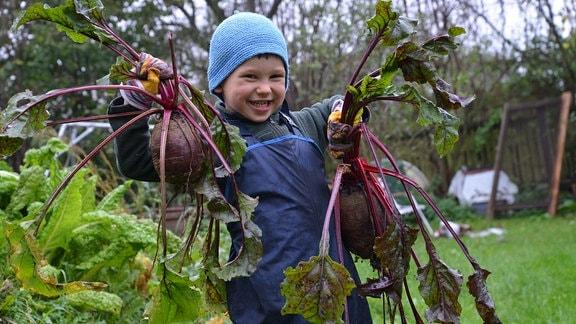 Ein kleiner Junge hält große Rote Beete Knollen in seinen Händen.