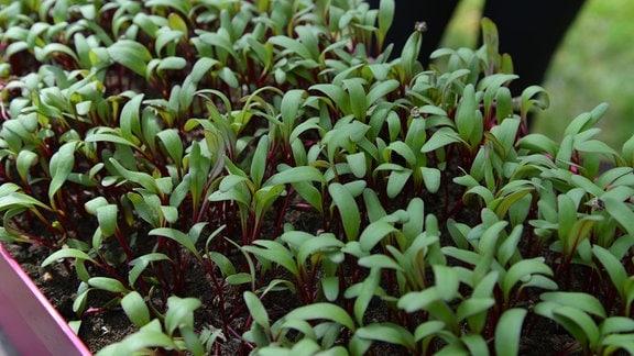 Viele Beete-Jungpflanzen in einem Balkonkasten