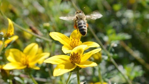 Biene fliegt über einer gelben Blüte.