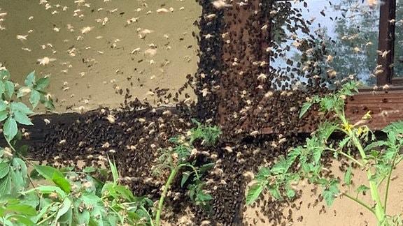 Viele Bienen fliegen vor einer Hauswand
