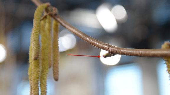 Grüne Knospe mit roten Puscheln und lange Haselnusspollen hängen an einem Ast
