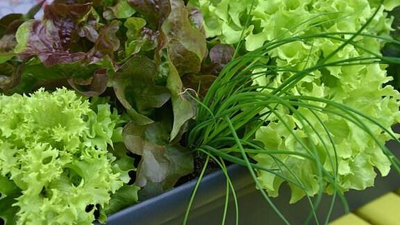 Verschiedene Salate und Schnittlauch