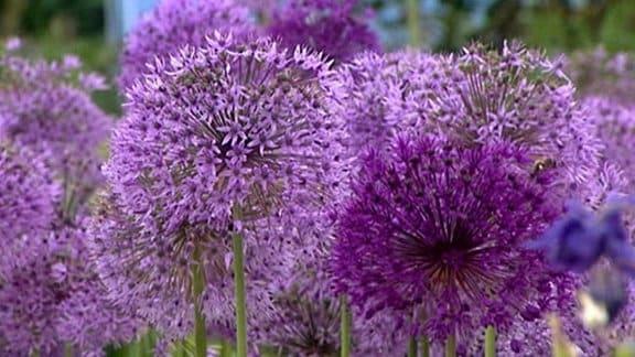 violette Blütenkugeln - Mit seinen pusteblumenähnlichen Blüten ragen die Blüten des Allium aus dem Ziergarten heraus.