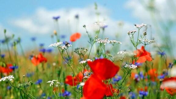 Blühstreifen für Biologischen Schädlingsbekämpfer