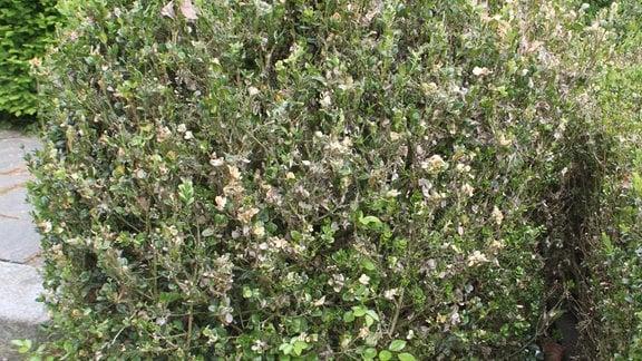Buchsbaum mit welken Blättern