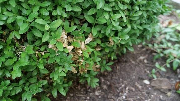 Grüner Buchsbaum mit brauner Stelle