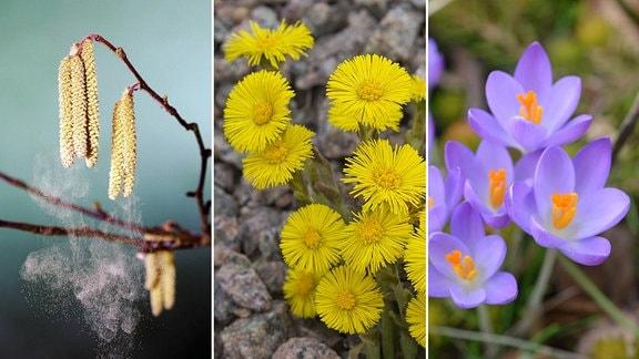 Haselpollen früher Pollenflug Heuschnupfen durch milden Winter - Imagi/imagebroker/schreiter Blumenuhr Linne Huflattich - Imago Lila Blüten des Elfenkrokuss - MDR / Daniela Dufft