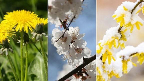 Löwenzahn - Kirschblüte - Schnee-Forsythie