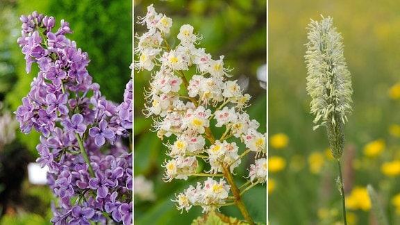 Flieder - Kastanienblüte - Wiesenfuchsschwanz