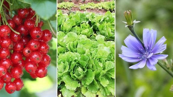 reife Johannsibeeren, reifer Salat, Blühende Wegwarte