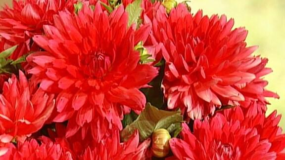 Rot blühende Dahlie, die nach Moderatorin Claudia Look-Hirnschal auf den Namen Claudias Herztraum getauft wurde.