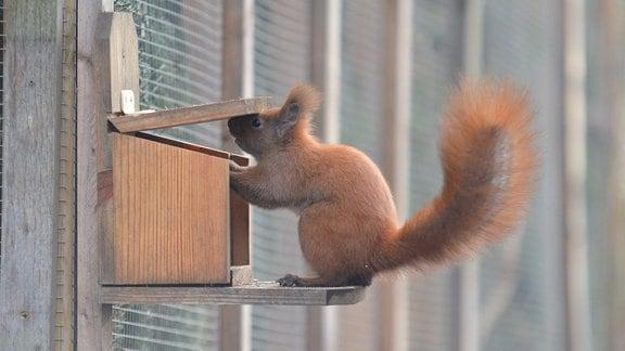 Eichhörnchen an einer Futterstation