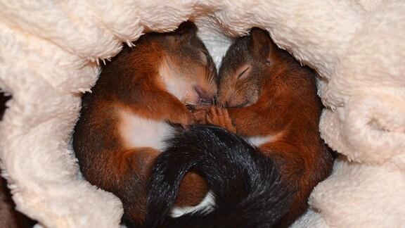 schlafende Eichhörnchen in einem ausgepolsterten Nest
