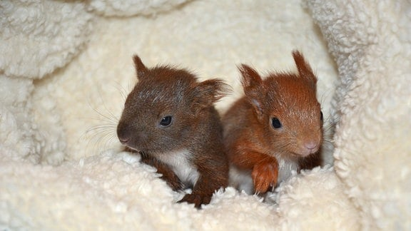 Eichhörnchen in einem ausgepolsterten Nest