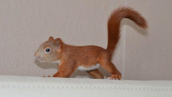 Eichhörnchen spaziert über Sofalehne