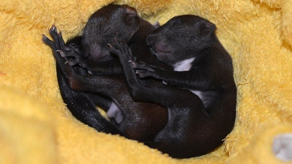 schwarze Eichhörnchen auf einer Kuscheldecke