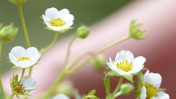weiße Blüten der Erdbeere 'Mara des Bois'