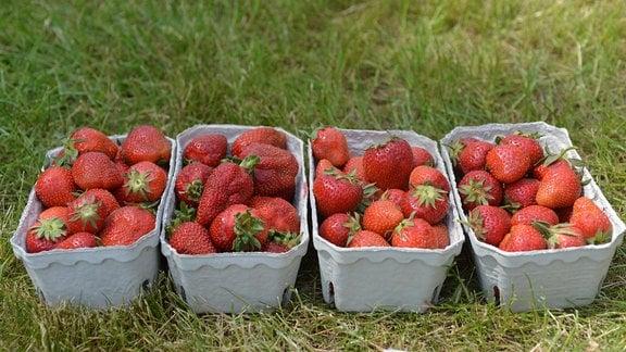 Schalen mit Erdbeeren auf einer Wiese