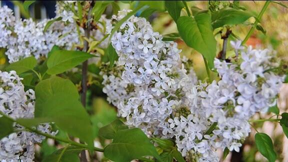 ila-weiß blühende Blütenrispen an einem Fliederstrauch