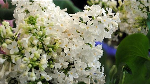 Weiß blühende Flieder-Blütenrispe
