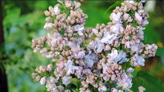 Lila-rosa blühende Flieder-Blütenrispe mit teils ungeöffneten Knospen